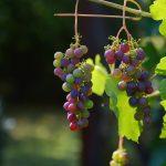 grapes-1659118