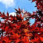 japanese-maple-2455522