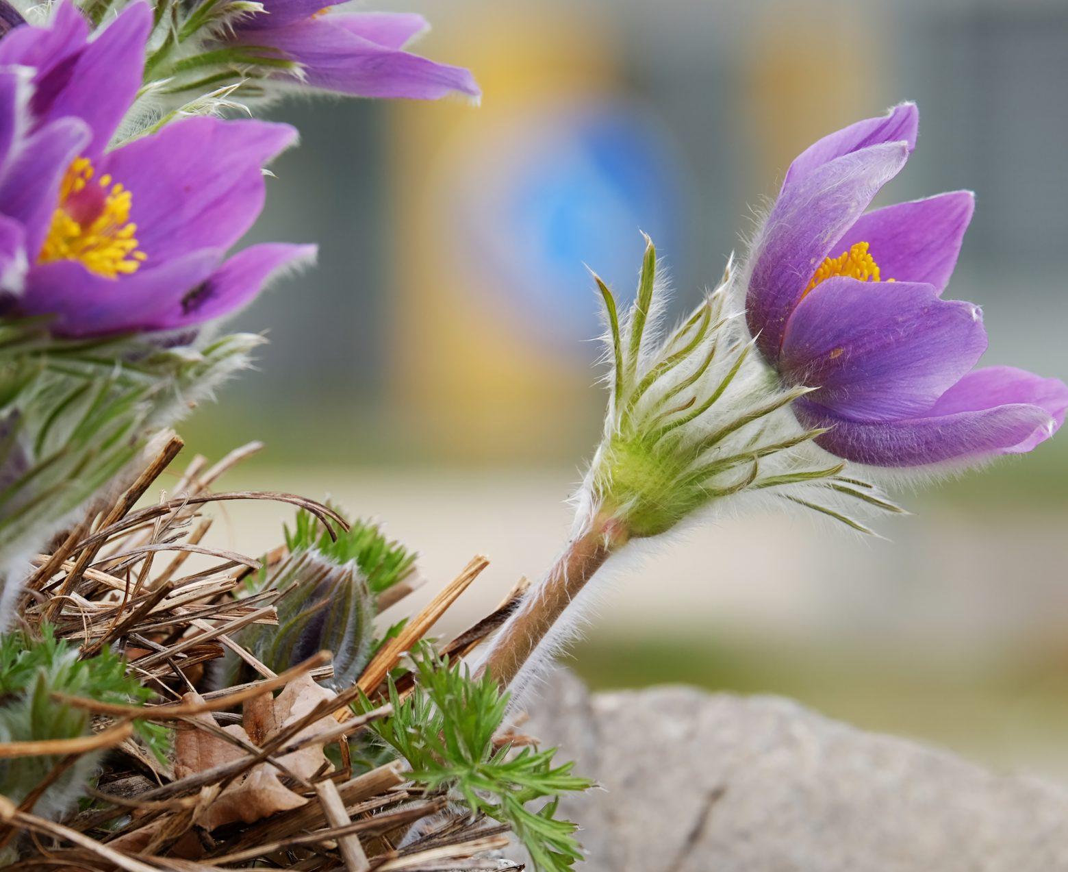 pasque-flower-3285226