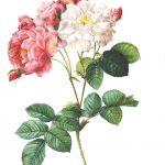 rose-2220087