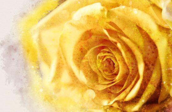 rose-3302933
