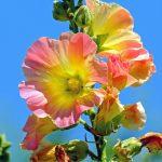 stock-rose-1525145
