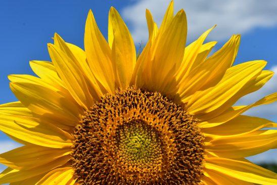 sun-flower-2824894