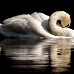 swan-3466606