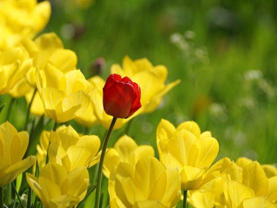 tulip-3317911