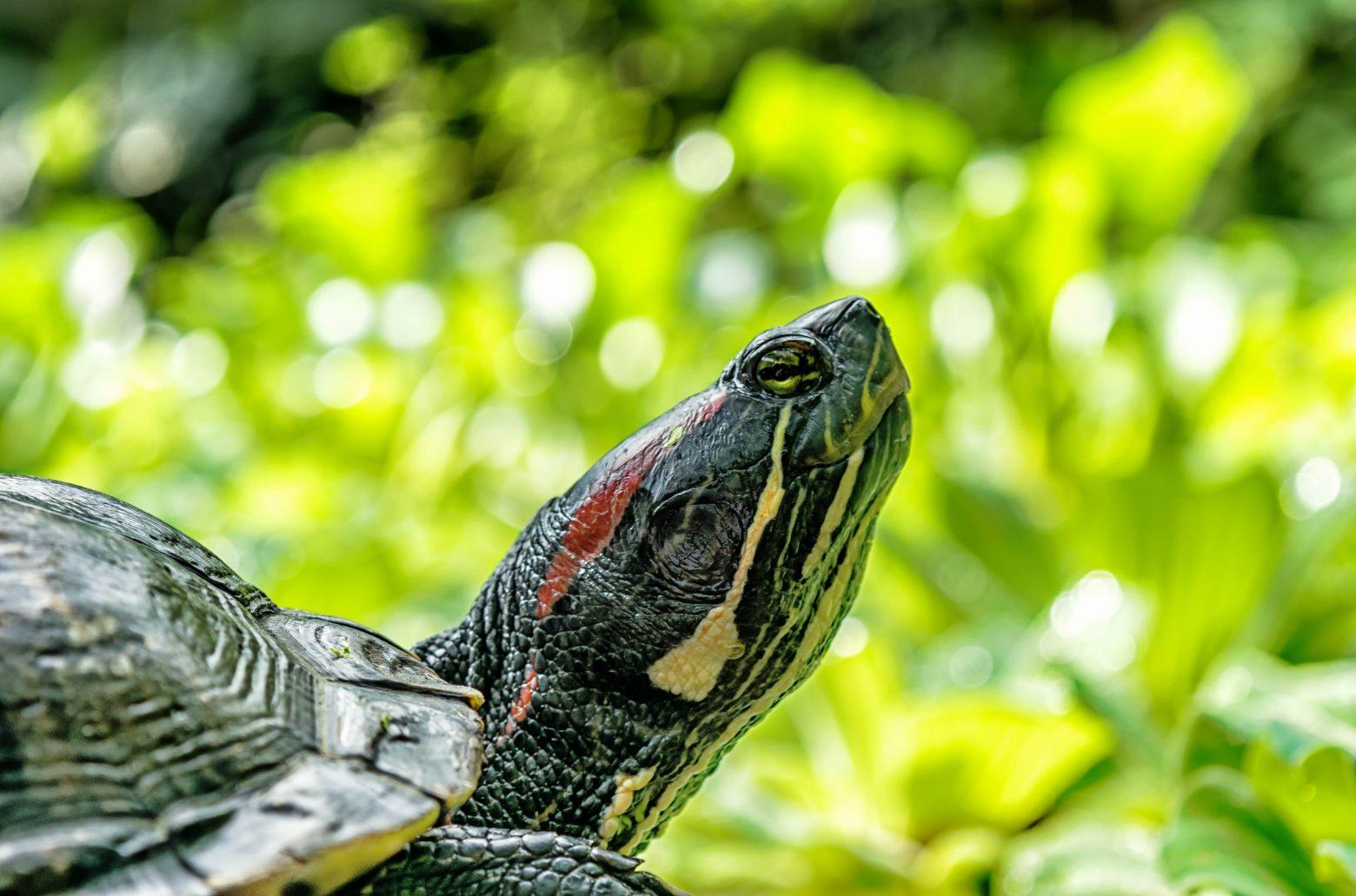 turtle-1592892
