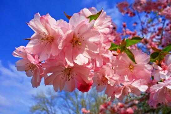 cherry-blossom-3320018