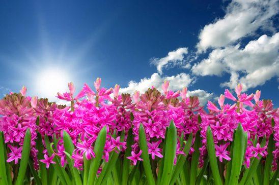 flower-3219718
