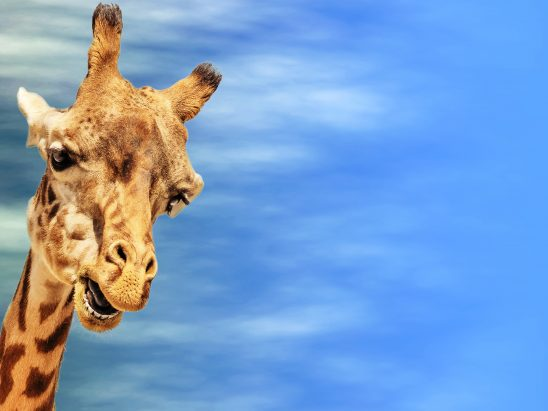 giraffe-2659347
