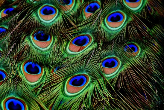 peacock-feathers-3013486