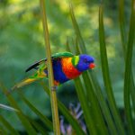 rainbow-lorikeet-411541