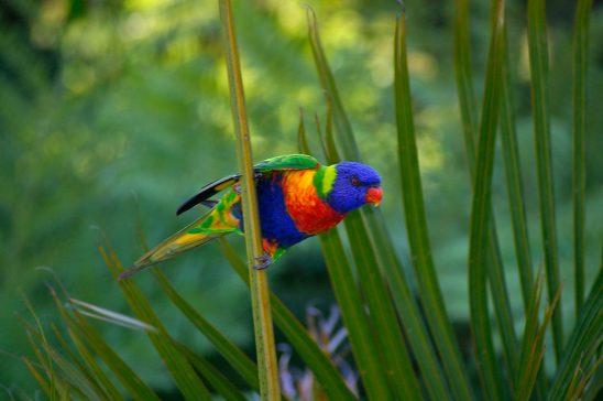 rainbow-lorikeet-411541