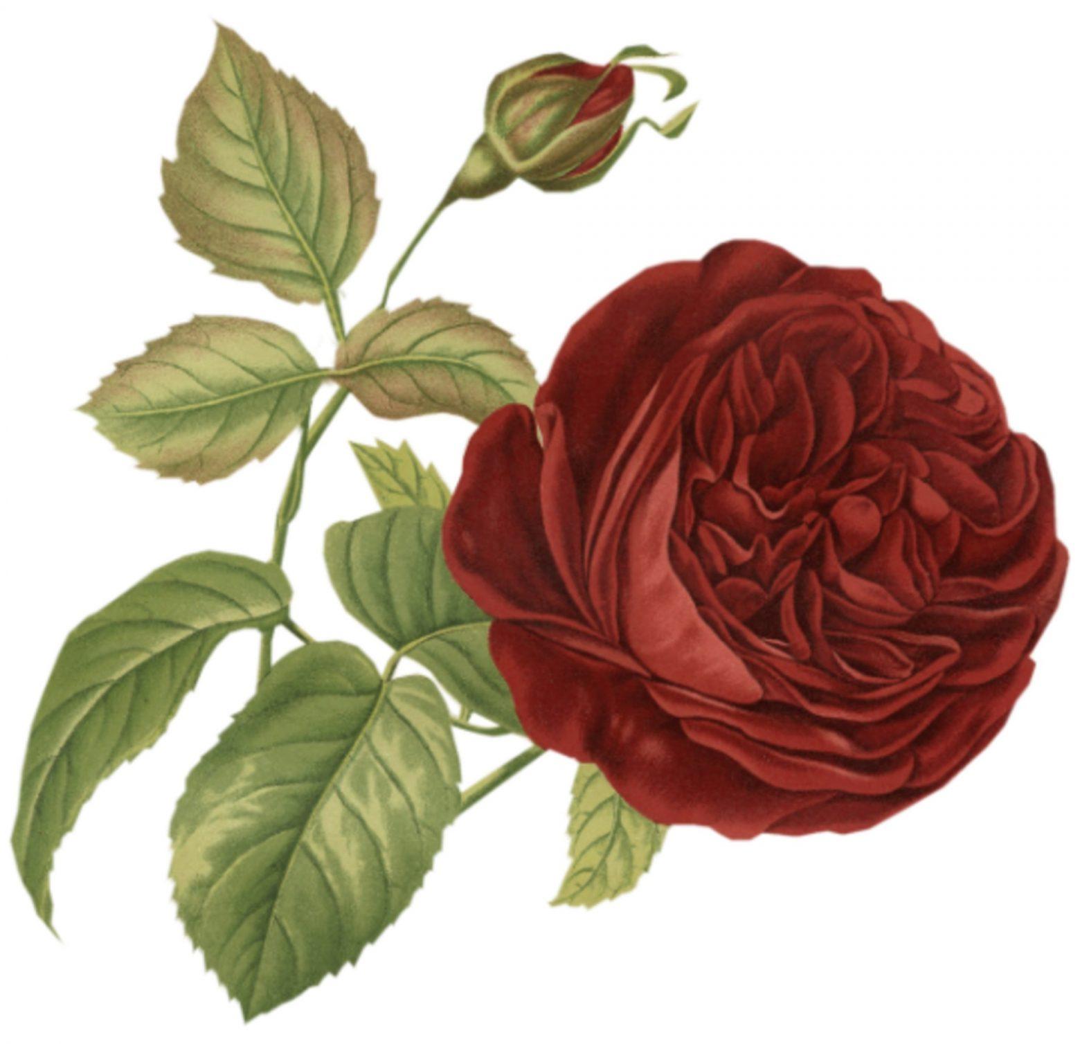 rose-1077964