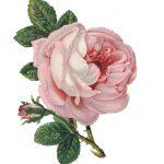 rose-1078272