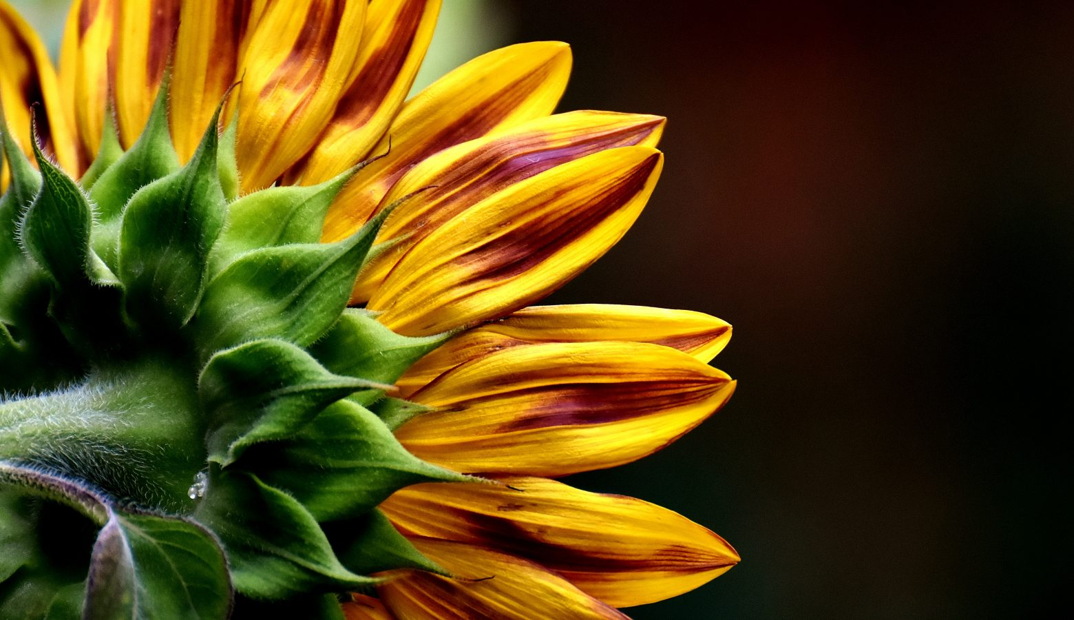 sun-flower-2911089
