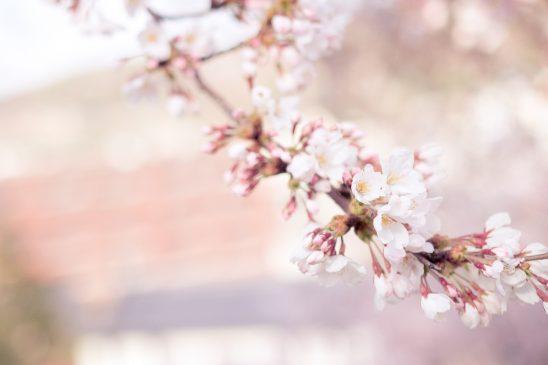 cherry-blossom-1209933