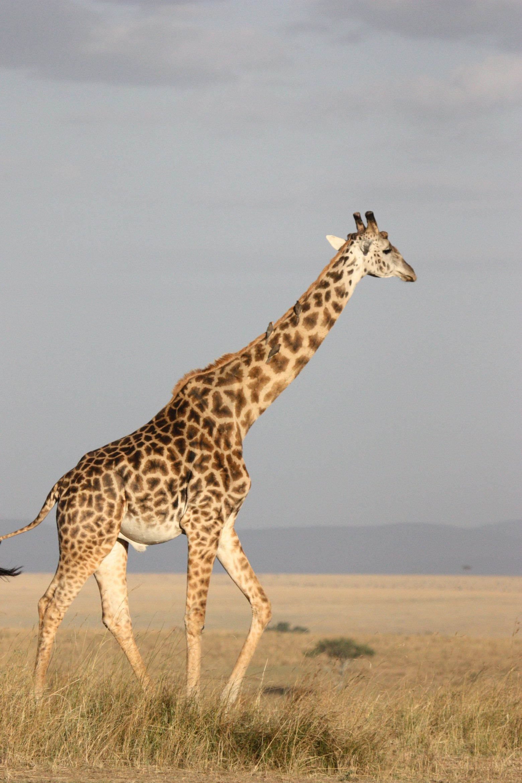giraffe-171318