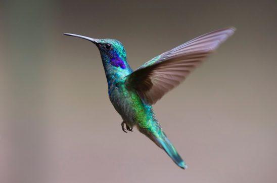 hummingbird-2139279
