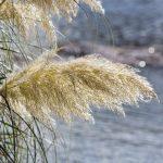 pampas-grass-78088