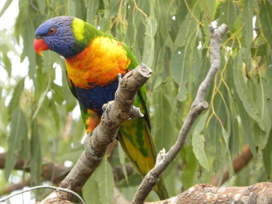 rainbow-lorikeet-822764