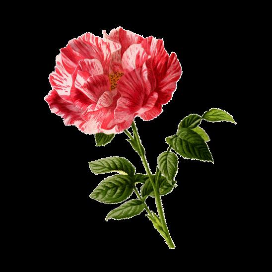 rose-2912525