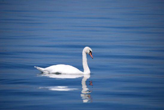 swan-173675