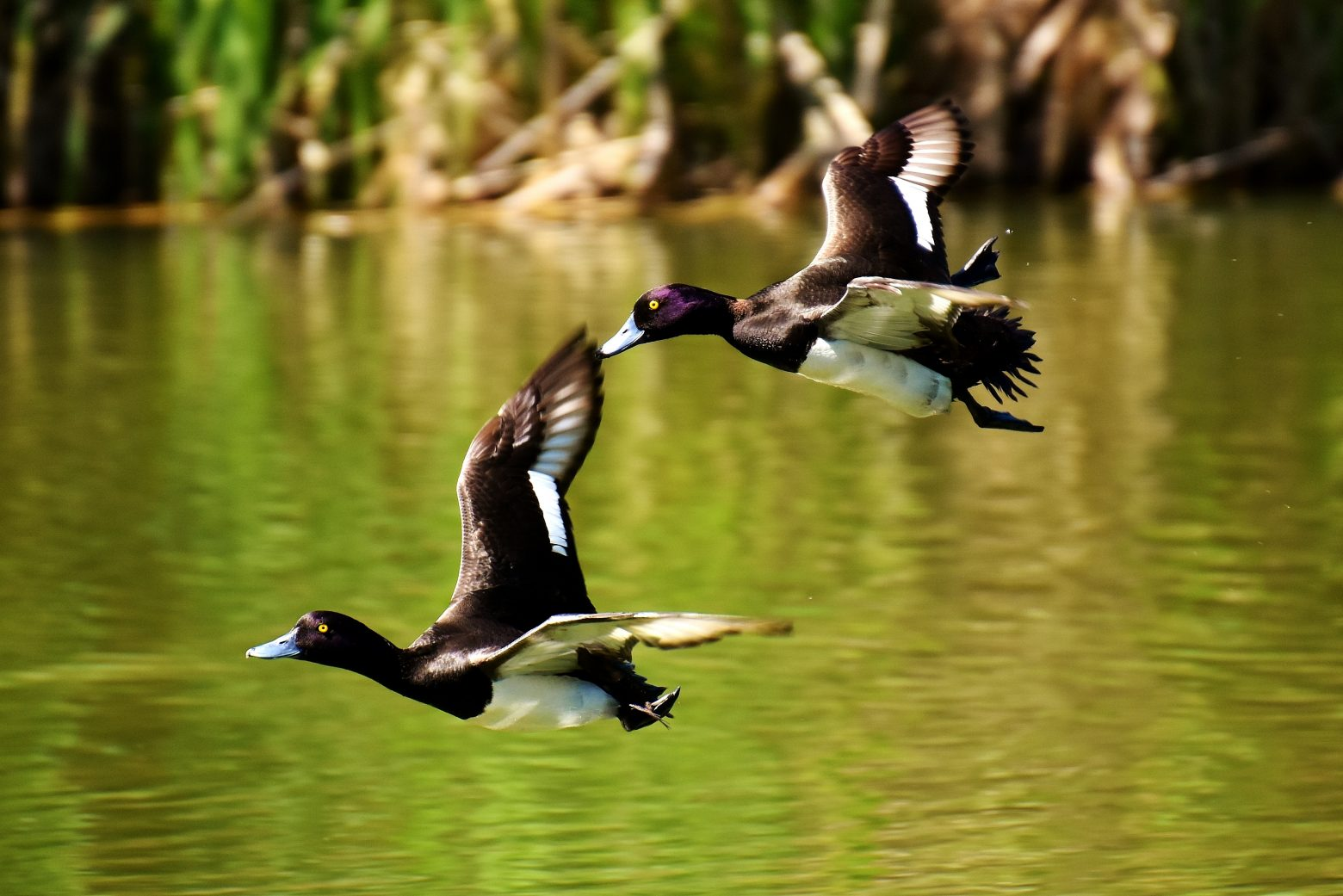 tufted-duck-2464117