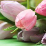 tulips-2167662