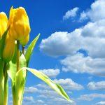 tulips-2821796